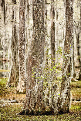 Swamp Trees Art Print