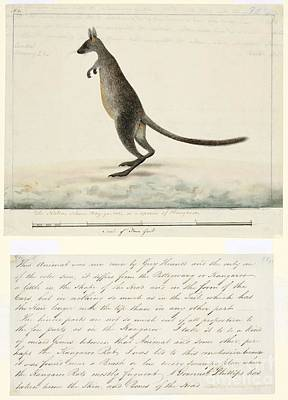 Swamp Wallaby, 18th Century Art Print by Natural History Museum, London