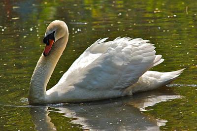Photograph - Swan 1 by Greg Vizzi