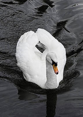 Photograph - Swan 2 by Nick Field