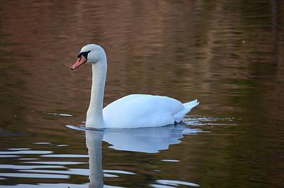 Swan 6 Art Print