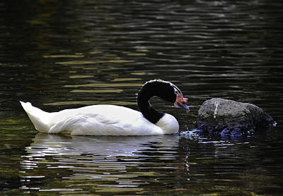 Photograph - Swan A-swimming by Christi Kraft