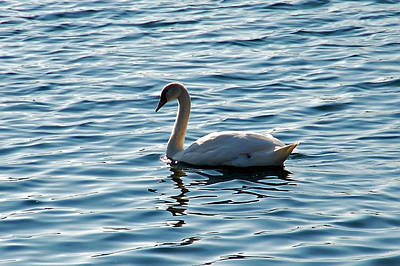 Swan Photograph - Swan by Aimee L Maher Photography and Art Visit ALMGallerydotcom