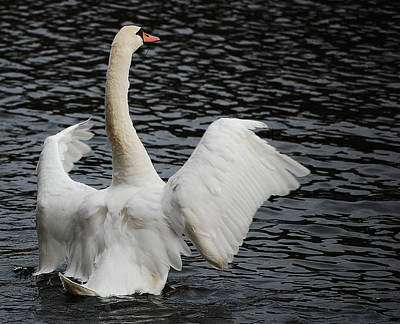 Photograph - Swan Airing Out Wings 2 by Staci Bigelow