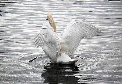 Photograph - Swan Airing Out Wings 3 by Staci Bigelow