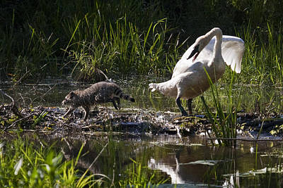 Photograph - Swan And Coon On Beaver Dam by Michael Dougherty