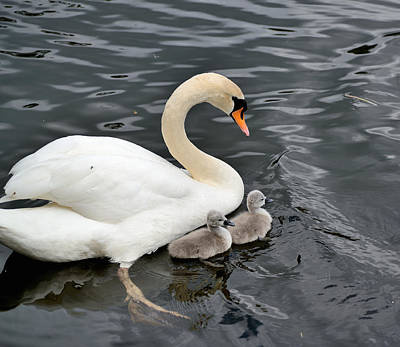 Photograph - Swan And Cygnets by Kathy King