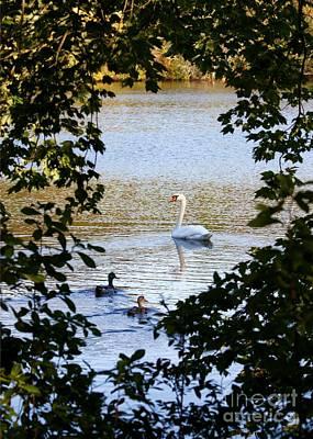 Photograph - Swan And Ducks Through Trees by Carol Groenen