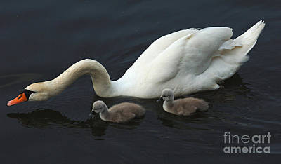 Photograph - Swan And Signets by Bob Christopher
