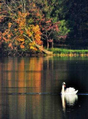 Photograph - Swan At Dawn by Mary Frances