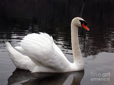 Photograph - Swan At High Park by Nina Silver