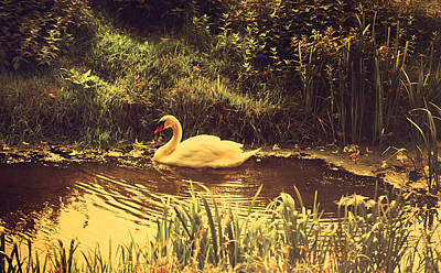 Photograph - Swan At The Golden Lake by Jenny Rainbow