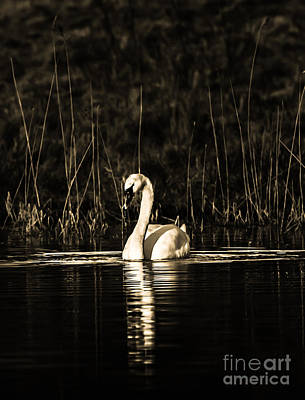 Art Print featuring the photograph Swan B/w by Rose-Maries Pictures