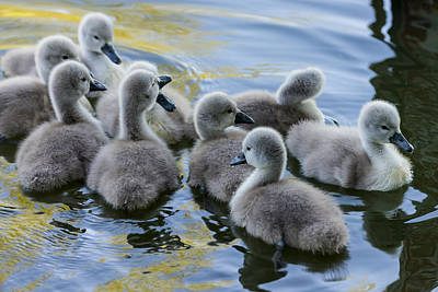 Photograph - Swan Babies by Michael Mogensen