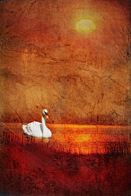 Photograph - Swan by Bob Coates
