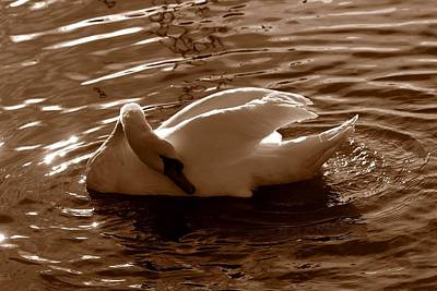 Swan By The Lake  Art Print