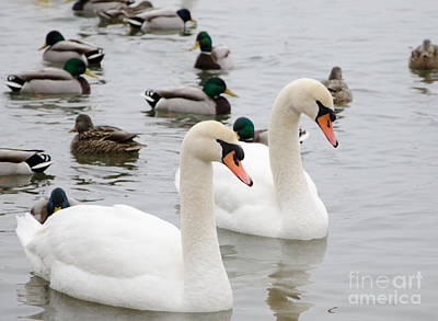 Photograph - Swan Couple by Laurel Best