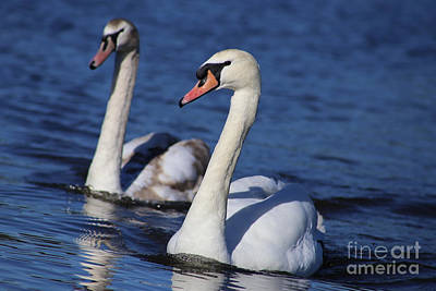 Wildlife Er Photograph - Swan Duo by Sue Harper