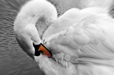 Swan Elegant Art Print by Cheryl Cencich