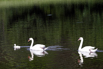 Photograph - Swan Faithfulness by Vadim Levin