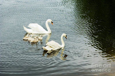Baby Bird Photograph - Swan Family by Jim  Calarese