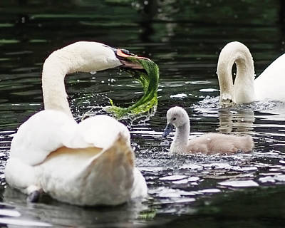 Swan Family Meal Art Print by Rona Black
