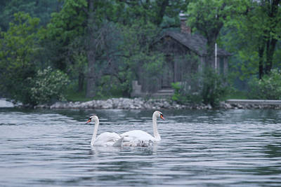 Large Wall Art Painting - Swan Family Outing by Bruce Thompson