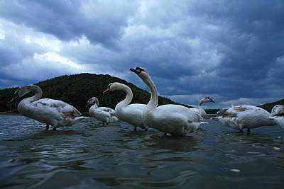Animal Family Photograph - Swan Family by Tomosang