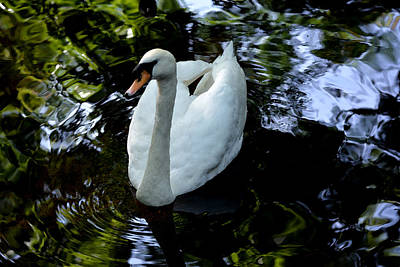 Photograph - Swan Fantasty by Judy Wanamaker