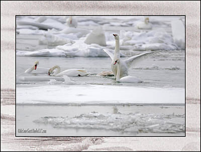 River Photograph - Swan Fest by LeeAnn McLaneGoetz McLaneGoetzStudioLLCcom