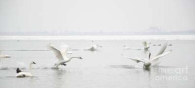 Photograph - Swan Fight by Laurel Best