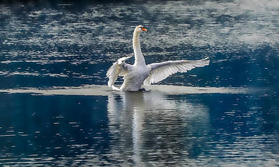 Swan Glory Art Print