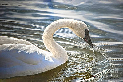 Photograph - Swan by Grace Grogan