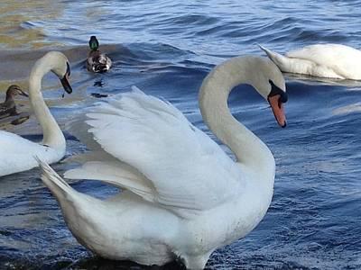 Swan Grace Art Print
