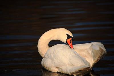 Photograph - Swan Grooming by Karol Livote