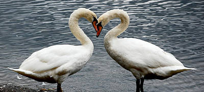 Photograph - Swan Heart 2 by Staci Bigelow