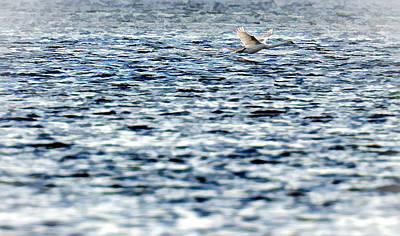 Photograph - Swan by Henrik Petersen