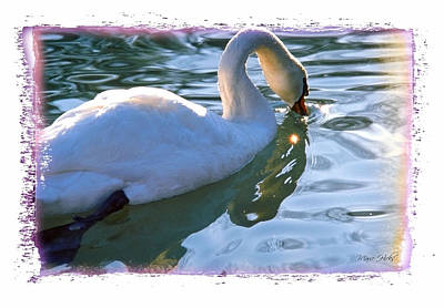 Photograph - Swan In Morning Light by Marie Hicks