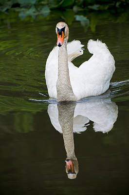 Photograph - Swan In Motion by Gary Slawsky
