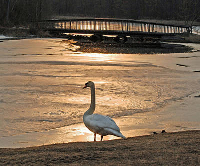 Photograph - Swan In Solitude At Sunset by Richard Bryce and Family