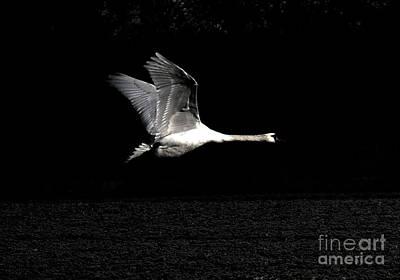 Swan In The Night Art Print