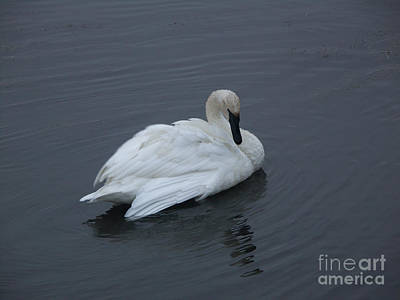 Photograph - Swan by Jackie Farnsworth