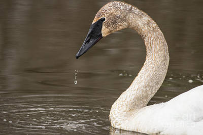 Photograph - Swan by Jeannette Hunt