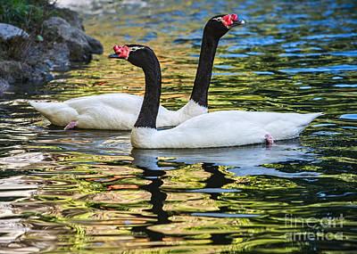 Swan Pair Photograph - Swan Lake by Jamie Pham