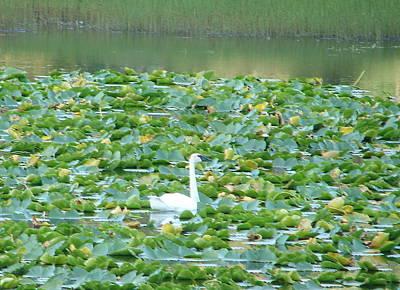 Photograph - Swan Lake by Lew Davis