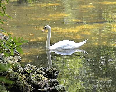 Photograph - Swan Lake Reflections by Carol  Bradley
