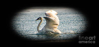 Photograph - Swan Landing 2 by Grace Grogan