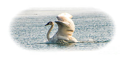 Photograph - Swan Landing 3 by Grace Grogan