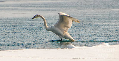 Photograph - Swan Landing by Grace Grogan