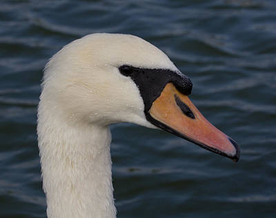 Photograph - Swan by Leah Palmer